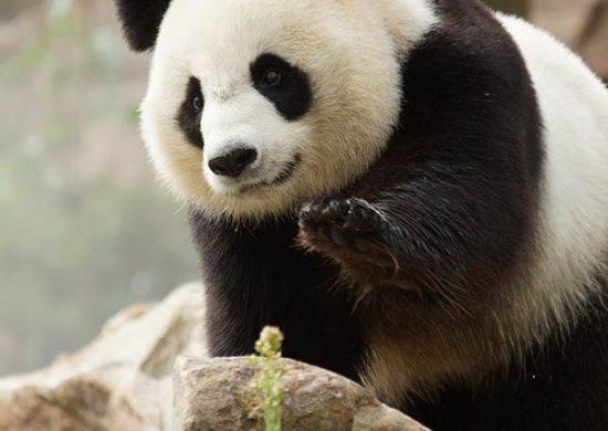 Pandas - Zooparc de Beauval